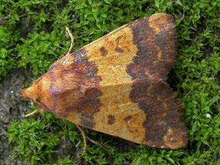 Lepidoptera Mundi: Tiliacea aurago (Denis & Schiffermüller ...